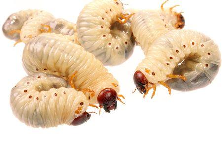 larva magot tedavisi